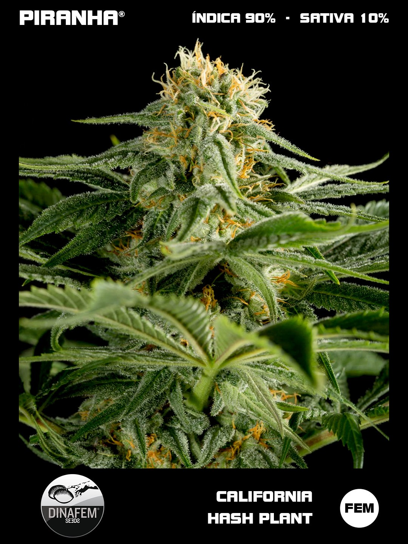 Semilla de Marihuana Dinafem California Hash Plant